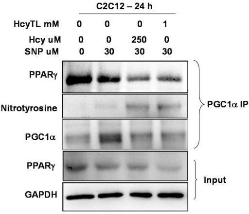 Western blot images showing the levels of PPARγ, nitrotyrosine and PGC-1α in the eluates of PGC-1specific immunoprecipitation from different treatment groups of C2C12 cell lysates. GAPDH indicates input levels for the immune-precipitation experiments across the groups. The levels of PPARγ were also probed in the total lysates and are not significantly different (data not shown).