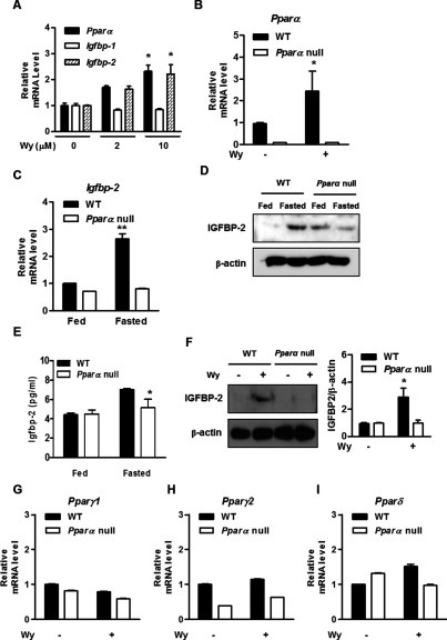 PPARα is involved in the induction of IGFBP-2 following the fasting state and Wy14643 treatment(A) Mouse primary hepatocytes were treated with Wy14643 (Wy) for 6 h at the indicated concentrations. Total RNA was isolated and analysed using qPCR with the observed primers. (B) Mouse primary hepatocytes from WT and Pparα  mice were treated with or without Wy14643 for 6 h. The level of Pparα mRNA was measured by qPCR analysis. (C) The mRNA level of Igfbp-2 in liver from WT and Pparα  mice fed and fasted for 24 h was analysed by qPCR. (D) Protein level of IGFBP-2 in livers from WT and Pparα  mice fed and fasted for 24 h was analysed by Western blot analysis. (E) Secretion level of IGFBP-2 in vivo and in vitro. Mice were fed or fasted for 24 h and serum was collected from WT and Pparα  mice. Secretion levels of IGFBP-2 in feeding or fasting conditions were measured by ELISA. (F) WT and Pparα  mice were treated with or without Wy14643 for 6 h. Whole cell extracts were isolated from primary hepatocytes of the observed conditions and assessed by Western blot analysis with the indicated antibody. (G–I) Primary hepatocytes from WT and Pparα  mice were treated with or without Wy14643 for 6 h. The level of Pparγ1, PPARγ2 and PPARδ mRNA was measured by qPCR analysis. *P<0.05 and **P<0.01 compared with untreated control or fed WT mice.