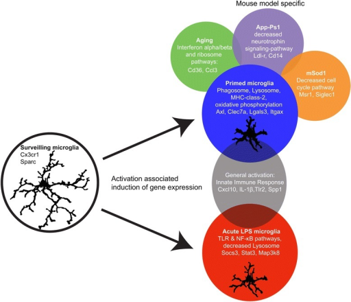 Summary figure describing the main findings of the current paper. Surveilling microglia are activated either acutely by a ligand such as LPS or by a neurodegenerative and aging brain environment.