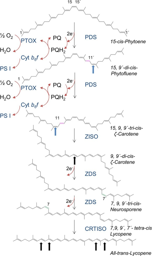 The PDS/ZDS carotene desaturation sequence.Magenta double bonds; introduced in trans configuration, green double bonds introduced in cis configuration. Blue arrows show isomerization from trans to cis, black arrows from cis to trans. Redox pathways in chloroplasts employ photosynthetic electron transport while a route through PTOX takes place in developing chloroplasts and non-green plastids. Both routes may as well prevail with ZDS. For further explanations, see text.