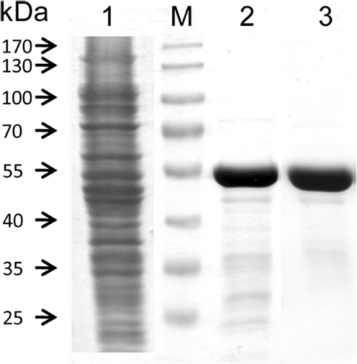 Purification of PDS-His6.SDS-PAGE (10%; stain Coomassie Blue) showing in lane 1, E. coli lysate after centrifugation at 18,600 x g; Lane 2, PDS-His6 after IMAC purification; lane 3, PDS-His6 after GPC purification; M, MW protein standards.