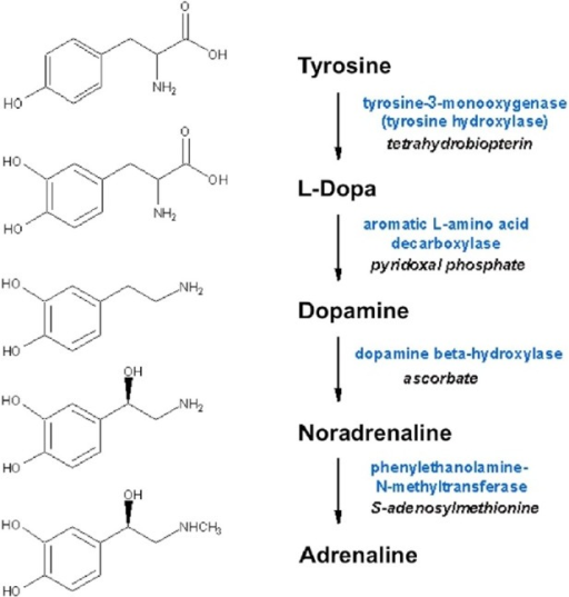 Biosynthesis of dopamine, noradrenaline and adrenaline. Synthesizing enzymes and enzyme cofactors are shown close to each arrow.