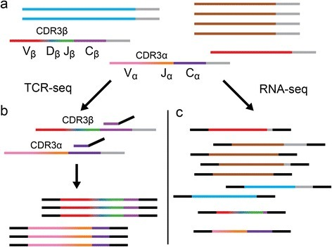 Schematic representation of T cell receptor sequencing (TCR-seq) versus RNA sequencing. Horizontal lines represent mRNA transcripts with gray poly-A tails. Each color represents a unique gene sequence. a A pool of all mRNA in a sample is depicted, which contains irrelevant transcripts (blue, brown, and red) as well as recombined TCR transcripts (multi-colored). b TCR-seq involves selective amplification of the CDR3 region of TCR transcripts (displayed as a color gradient) by reverse transcription polymerase chain reaction (PCR) shown using a conserved C-gene primer (purple with black sequencing adapter tails) for the initial reverse transcription step and resulting, after PCR (not shown), in an enriched set of recombined TCR sequences. c RNA-seq employs shotgun sequencing, generating fragments from all transcripts present in the sample, which then have sequencing adapters ligated (black). The resulting sequencing library will contain fragments that, by chance, contain the CDR3 encoding sequence. Additionally, these libraries may contain fragments that share sequence similarity to recombined TCR sequences (e.g., the red transcript), potentially leading to false-positives