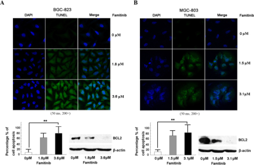 Famitinib triggered cell apoptosis. (A and B) Famitinib induced cell apoptosis in (A) BGC-823 and (B) MGC-803 cells compared with the control (n=3, mean ± standard deviation, **P<0.01), and downregulated B-cell lymphoma 2 in both cell lines. TUNEL, terminal deoxynucleotidyl transferase dUTP nick end labeling; DAPI, 4′,6-diamidino-2-phenylindole; BCL2, B-cell lymphoma 2.