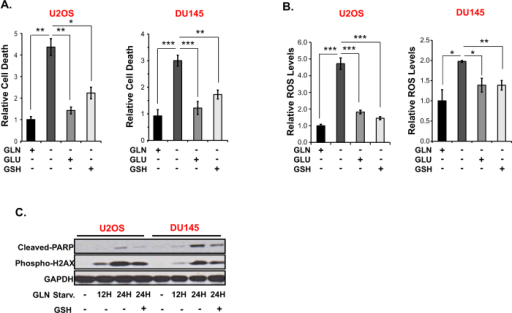 GLU and GSH inhibit GLN starvation-induced cell death and ROS increase.Effect of GLU (5 mM) and GSH (3 mM) on GLN starvation-induced (A) cell death and (B) ROS in GLN addicted DU145 and U2OS cells. Cell death and ROS were measured after 48 hours and 30 hours of GLN starvation respectively by PI or DCFDA staining. Data are the average ± SD of three independent cultures. *P < 0.05, **P < 0.005, ***P < 0.001. (C) Western blot analysis of cleaved PARP and phospho-H2AX levels in GLN addicted DU145 and U2OS cells after 12–24 hours GLN starvation. 3 mM GSH was used to assess its effect on GLN-starvation-induced induction of cleaved PARP and phospho-H2AX. Blots were cropped for clarity.