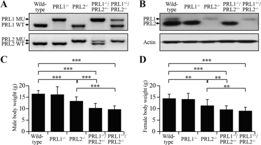 Generation of PRL1−/−/PRL2+/− and PRL1+/−/PRL2−/− mice.(A) PCR strategy for genotyping using mouse tail DNA. (B) Endogenous PRL1 and PRL2 protein products were determined by Western blot on lung lysates from different genotypes. (C,D) Body weights of 4-weeks-old male mice (C) or female mice (D) with different genotypes were determined. Body weights of PRL2−/−, PRL1−/−/PRL2+/− and PRL1+/−/PRL2−/− males and females were significantly less than those of wild-type and PRL1−/− males and females. Body weights of PRL1−/−/PRL2+/− and PRL1+/−/PRL2−/− males were also significantly less than those of PRL2−/− males. **p < 0.01, ***p < 0.001 (Student's t test). Data are representative of at least three independent experiments (mean and SD).