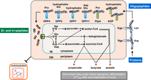 Schematic illustration of extracellular oligopeptide metabolism in P. gingivalis. The metabolic pathway of P. gingivalis from the extracellular polypeptides, di- and tri-peptide incorporation, amino acid metabolism, and excretion as short-chain fatty acids, are schematically illustrated [10], [15]. Amino acids, except for Ser and Thr, are mainly transported as di- and tri-peptides via oligopeptide transporters [10]. Rgp and Kgp are mainly localized on the outer membrane (OM), while DPPs, PtpA, and AOP are located in periplasmic space [23], [24], [25]. Scissors indicate peptidases, which cleave peptide bonds at specific positions. Stars represent acylaminoacyl groups at the N-terminus. IM, inner membrane.