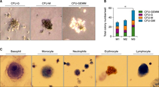 (A) Colony-forming units of macrophages (CFU-M), granulocytes (CFU-G), and granulocytes, erythroid macrophages, and megakaryocytes (CFU-GEMM) after 14 days of CD34+ cell culture in Methocult. (B) The number of colonies of each type in a 35-mm dish, counted manually. (C) Fully differentiated cells of multiple lineages. (Wright-Giemsa stain, ×1,000) a)P <0.05.Abbreviations: M1, Method 1; M2, method 2; M3, Method 3.