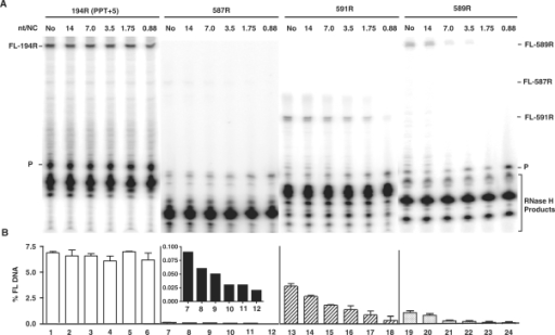 Effect of HIV-1 NC on plus-strand initiation with four RNA primers. The 194R (PPT+5), 587R, 591R and 589R primers were extended by HIV-1 RT in the absence or presence of HIV-1 NC. (A) Gel analysis. FL DNA products synthesized during primer extension after incubation at 37°C for 30 min in the absence (No) (lanes 1, 7, 13, 19) or presence of increasing concentrations of HIV-1 NC as follows: 14 nt/NC (0.17 µM), lanes 2, 8, 14, 20; 7 nt/NC (0.34 µM), lanes 3, 9, 15, 21; 3.5 nt/NC (0.7 µM), lanes 4, 10, 16, 22; 1.75 nt/NC (1.4 µM), lanes 5, 11, 17, 23; 0.88 nt/NC (2.7 µM), lanes 6, 12, 18, 24. The positions of the primer (P) and the FL DNA products formed by 587R (55 nt), 591R (40 nt) and 589R (85 nt) are shown on the right and for 194R (80 nt), on the left. The bracketed bands are RNase H cleavage products. The sizes of the DNA products were verified with appropriate markers. (B) Bar graphs showing the percentage of total radioactivity in a given lane present as the FL 32P-labeled DNA (% FL DNA) as a function of NC concentration. The numbers below each bar in the bar graph also correspond to the lane numbers of the gel. Note that the inset in the bar graph for 587R shows the values for % FL DNA on an expanded scale. Symbols: 194R (PPT+5), open bars; 587R, filled bars; 591R, hatched bars; and 589R, stippled bars.