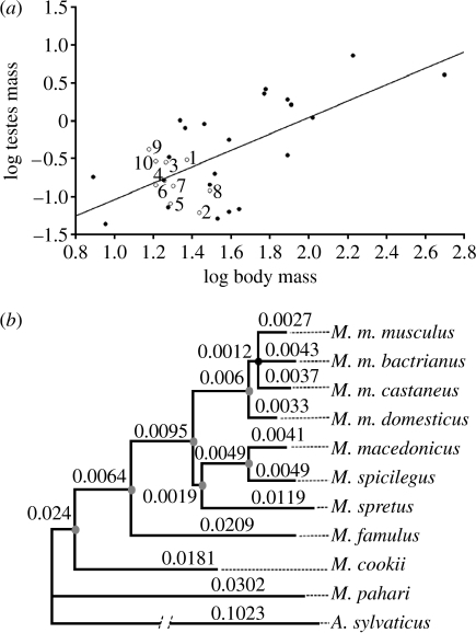 (a) Relationship between body weight and testes weight in murid rodents (r2=0.4463, n=32, p<0.0001). Open circles (our own data): 1, M. cookii; 2, M. famulus; 3, M. macedonicus; 4, M. m. bactrianus; 5, M. m. castaneus; 6, M. m. domesticus; 7, M. m. musculus; 8, M. pahari; 9, M. spicilegus; 10, M. spretus. Filled circles (data from Kenagy & Trombulak 1986): Apodemus agrarius, Apodemus flavicollis, Apodemus microps, A. sylvaticus, Micromys minutus, Notomys alexis, Notomys cervinus, Notomys fuscus, Notomys mitchelli, Praomys natalensis, Pseudomys apodemoides, Pseudomys australis, Pseudomys delicatulus, Pseudomys desertor, Pseudomys gracilicaudatus, Pseudomys hermannsburgensis, Pseudomys nanus, Pseudomys novaehollandiae, Pseudomys shortridgei, Rattus exulans, Rattus norvegicus, Rattus rattus. (b) Bayesian phylogenetic reconstruction of the 10 species of Mus. Note the low mean number of amino acid substitutions per site measured in the branches. Grey and black nodes represent clusters with 1.00 and 0.79 posterior probability values, respectively (table S1 in the electronic supplementary material).