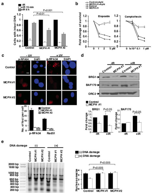 BRIT1 promotes DNA repair and chromatin relaxation in two human MCPH lymphoblastoid cell lines (MCPH #1 and MCPH #2)(a) Impaired DNA repair analyzed by comet assay after exposure of cells to IR. Percentage of cells with intact DNA (tail moment less than 2) in cells without IR exposure was set as 1. At least 100 cells were scored in each sample and each value represents the mean ± SEM of three independent experiments; Student's t-test. Representative images are shown in Supplementary Fig. 7b. (b) Impaired cell survival in MCPH #1 cells exposed to DSB-inducing agents. Cells were pre-treated with the DNA replication inhibitor aphidicolin (Aphi) where indicated, and then treated with etoposide (Left) or camptothecin (Right). The graphs represent the mean ± SD of three independent experiments (c) Requirement of BRIT1 for foci formation of DNA repair proteins. (Top) Immunostaining of p-RPA foci. Scale bar is 10 µM. (Bottom) Quantification of p-RPA and Rad51 foci formation from three independent experiments (mean ± SD). At least 50 cells were scored in each sample for each experiment. (d) Reduced association of SWI/SNF to chromatin. (Top) Representative Western blots. (Bottom) Densitometry analyses of indicated protein values normalized against ORC2. Each value represents the mean ± SD of three independent experiments; Student's t-test. (e) Impaired chromatin relaxation analyzed by MNase sensitivity assay. Cells were exposed to the DSB inducing agent neocarzinostatin (400 ng/mL). (Left) Representative image. (Right) Quantification of average nucleosome size. Each value represents the mean ± SEM of three independent experiments; Student's t-test.