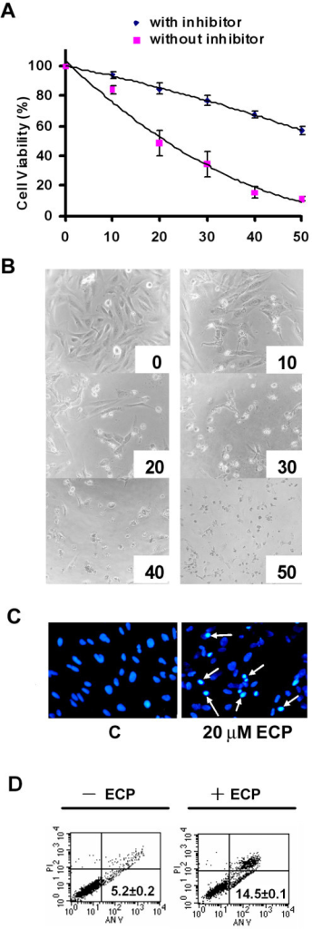 Effect of rECP on the viability of BEAS-2B cells. BEAS-2B cells (5 × 103) were incubated in a 96-well plate and treated with various concentrations of rECP as indicated for 48 h. Cell viability was determined by the MTT assay. (A) Cells were treated with rECP (up to 50 μM) for 48 h in the presence or absence of the general caspase inhibitor Z-VAD-FMK. (B) Morphology of the cells treated with serial concentrations of rECP ranging from 0 to 50 μM (concentrations shown below each panel). (C) Nuclei of BEAS-2B cells were stained with Hoechst 33342. Cells were treated or untreated with 20 μM rECP for 48 h. Stained nuclei were visualized by fluorescence microscopy. The chromatin condensation is indicated by bright blue spots shown by white arrows. (D) BEAS-2B cells were incubated in the presence or absence of 20 μM rECP for 24 h. The cells were stained with annexin-V-FITC and analyzed by FACS. Intact cells are located in the lower left quadrant. The apoptotic cells stained by annexin-V-FITC are located in the lower right quadrants, respectively. All data represent the arithmetic mean ± SEM.