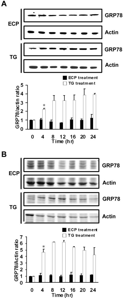 Effect of rECP-induced apoptosis on ER response. BEAS-2B cells were treated with rECP or thapsigargin (TG; an ER toxin as a positive control) for the indicated times. The cells used to determine the ER response were incubated with 20 μM rECP or 1 μM TG for 0, 4, 8, 12, 16, 20 and 24 h. (A) Total cell lysates were resolved by 10% SDS-PAGE, and the relative accumulated GRP78 was investigated by western blotting with anti-GRP78 and anti-actin. (B) For de novo proteins synthesis, cells were labeled with [35S]methionine for 2 h before harvesting. Equal amounts of labeled cell lysates were resolved by 10% SDS-PAGE followed by quantitative analysis. All data represent the arithmetic mean ± SEM. *P < 0.05.