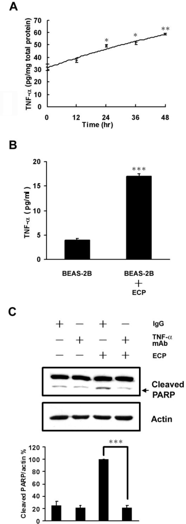 Effects of TNF-α on rECP-induced apoptosis. BEAS-2B cells were treated with 20 μM rECP. (A) TNF-α was measured in cell lysates by rECP treatment for ranging from 0 to 48 h. (B) TNF-α was measured in cultured supernatant medium by rECP treatment for 48 h. All the TNF-α measurements were determined by ELISA assay. (C) To investigate the role of TNF-α in rECP-induced apoptosis, BEAS-2B cells were pretreated with 5 μM anti-TNF-α Ab for 4 h before rECP treatment. The addition of IgG Ab to the medium of cells was used as controls in neutralization studies. All data represent the arithmetic mean ± SEM. *P < 0.05, **P < 0.01, ***P < 0.001.