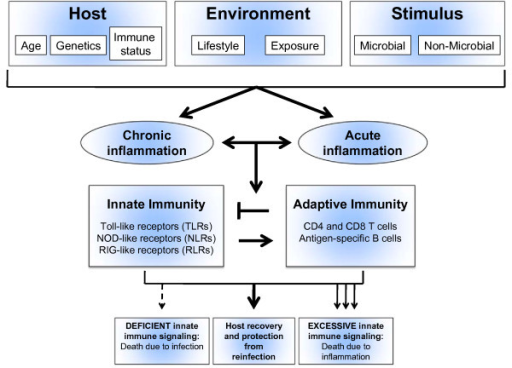 Innate and adaptive immunity in acute and chronic lung