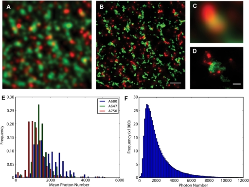 Two-dimensional super-resolution imaging of the distribution of Ryanodine receptors (red) and Caveolin (green), using Alexa 680 and Alexa 750 secondaries, in the periphery of isolated rat cardiac myocytes and overview of dye properties.Panel A shows the sample at conventional resolution, panel B the super-resolved image. Comparison of enlarged detail (C & D) shows that apparent overlap in the diffraction-limited images is not seen in the corresponding super-resolution image. E. Histogram of mean photon number per event of a dataset of ∼400 ratiometric super-resolution images. The mean photon numbers were calculated for each image in the dataset, the histogram of actual photon numbers per single molecule event are shown in panel F. Scale bars B: 1 µm, D: 200 nm.
