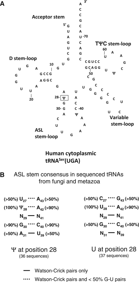 Human tRNASer(UGA) sequence and secondary structure and ASL stem consensus sequence. (A) The sequence and proposed secondary structure of Human tRNASer(UGA) (50). The major aspects of the secondary structure are labeled on the diagram and it is numbered without including most of the Variable stem-loop. The single site of Pus1p modification, position 28, is boxed. (B) Consensus sequences for sequenced tRNAs from the fungi and metazoa group in the tRNAdb (57) that have a Ψ or a U at position 28. The figure is presented in the output style from tRNAdb. A solid line between nucleotides indicates Watson-Crick pairs only and a dash line indicates G–U pairs (<50%) are also found at this position.