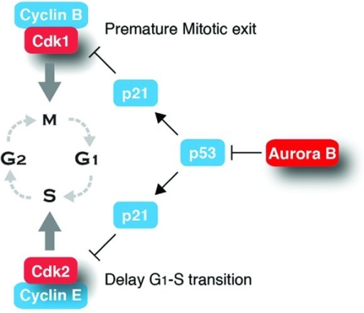 Figure 1. A model of links between Aurkb and cyclin-dependent kinases.