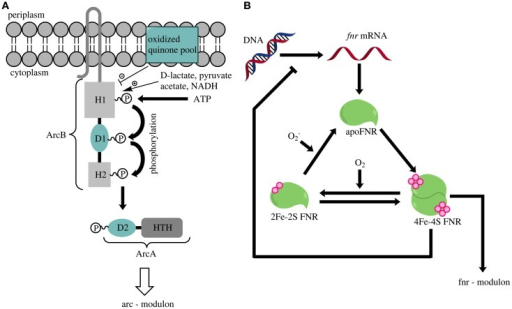 (A) Overview of the activation of the ArcAB two-component system [according to and modified from Liu et al. (2009)]. An accumulation of lactate, pyruvate or NADH triggers a phosphorylation cascade in ArcB that finally leads to the phosphorylation of ArcA. ArcA is depicted as a two-component protein containing the secondary receiver domain D2 and a helix-turn-helix domain (HTH). Oxidized quinone molecules negatively modulate the ArcB activity. (B) Schematic overview of FNR-regulator activation (according to and modified from Tolla and Savageau, 2010). Oxygen inactivates the active dimeric form of FNR that contains one 4Fe-4S-cluster per monomer (4Fe-4S FNR). Continuous production of new FNR molecules and reactivation of the inactive 2Fe-2S-form (2Fe-2S FNR) or the apoenzyme (apo FNR) leads to constant cycling of the three FNR-forms. The absence of oxygen triggers a rapid accumulation of the 4Fe-4S-form, which dimerizes and thereby becomes an active transcription factor.