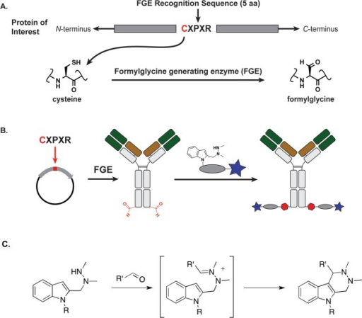 Aldehyde tagcoupled with HIPS chemistry yields site-specificallymodified antibodies carrying a payload attached through a stable C–Cbond. (A) A formylglycine-generating enzyme (FGE) recognition sequenceis inserted at the desired location along the antibody backbone usingstandard molecular biology techniques. Upon expression, FGE, whichis endogenous to eukaryotic cells, catalyzes the conversion of theCys within the consensus sequence to a formylglycine residue (fGly).(B) Antibodies carrying aldehyde moieties (in red, 2 per antibody)are reacted with a Hydrazino-iso-Pictet-Spengler(HIPS) linker and payload to generate a site-specifically conjugatedADC. (C) The HIPS chemistry proceeds through an intermediate hydrazoniumion followed by intramolecular alkylation with a nucleophilic indoleto generate a stable C–C bond.