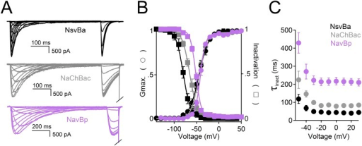 A comparison of the voltage-dependence of the bacterial Nav channels.(A) Left, Example traces from HEK 293T cells expressing sodium channels, NsvBa (black), NaChBac (gray) and NavBp (purple). Currents were activated by 0.5 s (NsvBa and NaChBac) or 1 s NavBp prepulses of increasing potential followed by a test pulse to −20 mV. (B) Resulting conductance-voltage and inactivation-voltage relationships were measured by plotting the average prepulse peak current converted to conductance, and reduction of test pulse peak current, respectively as a function of prepulse potential (n = 6–10, Error = ±SEM) and fit to a sigmoid equation. (C) Inactivation rate (τinact) -voltage relationship was measured by fitting the current decay to a single exponential equation for NsvBa (Black), NaChBac (gray) and NavBp (purple).DOI:http://dx.doi.org/10.7554/eLife.04387.004