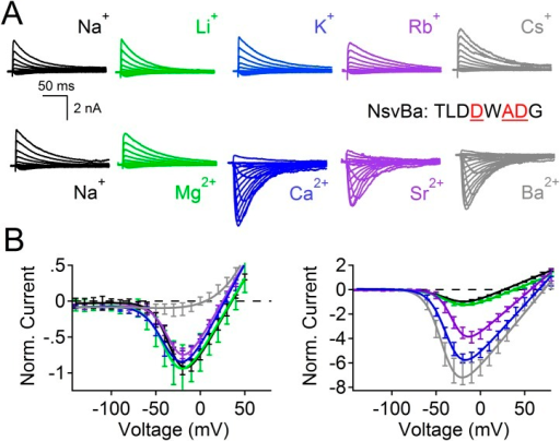 NsvBa can be converted into a divalent cation-selective channel.The selectivity mutant NsvBa channel was replaced with the CaVBac selectivity filter sequence TLDDWADG (S187D:G189D:S190D). (A) Representative current traces from the mutant channels under the same conditions described in Figure 2. (B) Resulting current-voltage relationships measured for the mono and divalent conditions. (n = 4–8 for each channel, Error = ±SEM).DOI:http://dx.doi.org/10.7554/eLife.04387.010