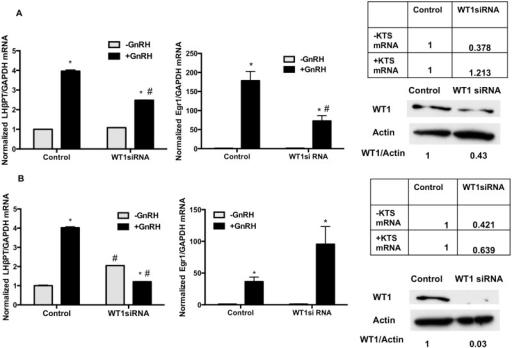 WT1 siRNA increases the basal and decreases GnRH stimulated expression of endogenous LHβ primary transcript.LβT2 cells were transfected with siRNA against WT1 and a non-targeting siRNA as a control. After 72 h of incubation, cells were treated with or without GnRH for 1.5 h, followed by cell lysate collection, RNA extraction and western blot analysis (30 μg protein) on 10% PAGE-SDS gels. WT1 protein was detected by immunoblotting with specific antibodies for WT1, and normalized for β-actin on the same blot. A. Expression of the endogenous LHβ primary transcript, Egr1 primary transcript mRNA, and WT1 protein under conditions where the WT1 (-KTS) variant mRNA was reduced. B. Expression of the endogenous LHβ primary transcript, Egr1 primary transcript mRNA, and WT1 protein under conditions where both the WT1 (-KTS) and WT1 (+KTS) variant mRNAs were reduced. For each condition, the experiment was performed twice with 5 replicates. LHβ and Egr1 primary transcript mRNAs were normalized for GAPDH mRNA in the same sample. Control samples contained non-targeting siRNA. * p<.05 -GnRH vs +GnRH, in either Control siRNA or WT1 siRNA treatments. Values are mean ± SEM for 5 replicates. # = p<.05 -GnRH Control siRNA vs –GnRH WT1 siRNA, or p<.05+GnRH Control siRNA vs +GnRH WT1 siRNA.