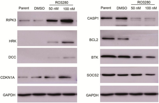 Western blot verification of real-time PCR array results. Western blot analysis of cells following a 24 h treatment with RO3280 at 50 or 100 nM compared with DMSO control mock treatment. The upregulation of DCC and CDKN1A and down regulation of BTK and SOCS2 in RO3280 treated cells. Protein lysates from treated cells were tested for expression levels by Western blot analysis.