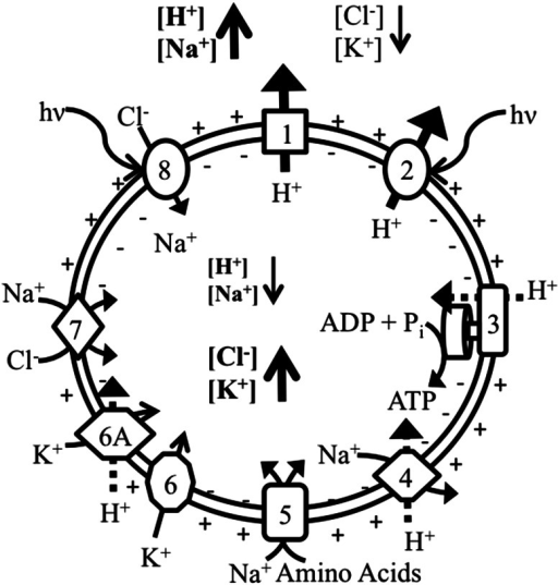 Ion transport systems in Har. marismortui. Ion flow in the haloarchaeon, Har. marismortui as modeled after Oren et al. (1990) illustrating ion flow within cells. Proton flow in and out of the cell and relative ion concentrations are emphasized to show formation of the proton motive force and ion gradients. Classes are as described in Table 3. The new subclass 6A is defined for K+/H+ symport, which uses the proton motive force to drive K+ sequestration through the Trk system. Sodium transport for class 8 transporters is included as co-transport with chloride (Duschl and Wagner 1986)