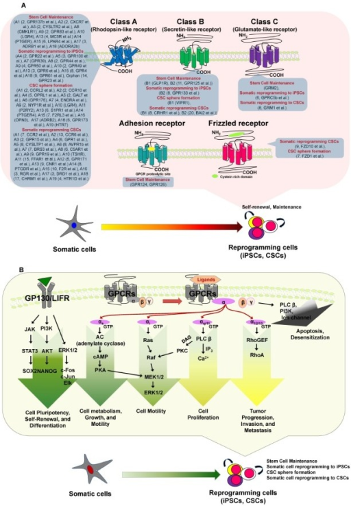 Differential GPCRs and GPCR signaling, which may be involved in stem cell maintenance and/or during somatic reprogramming to iPSCs or CSCs. (A) The GPCR superfamily has traditionally been divided into three major families: class A/rhodopsin-like receptors, class B/secretin-like receptors, and class C/glutamate-like receptors. Recent bioinformatics analyses have updated the phylogenetic characterization to five distinct families: glutamate, rhodopsin, adhesion, frizzled and secretin (GRAFS classification system). (B) Various ligands bind GPCRs to stimulate various G proteins. GPCRs interact with heterotrimeric G proteins composed of α, β, and γ subunits that are guanosine diphosphate bound in the resting state. Most GPCRs activate one or multiple Gα proteins, which can be subdivided into four major families: Gαi, Gα12, Gαs, and Gαq. Ultimately, the integration of the functional activities of G protein-regulated signaling networks controls many cellular functions, and the aberrant activities of G proteins and their downstream target molecules can contribute to various cellular mechanisms, including roles in stem cell maintenance and somatic reprogramming to iPSCs or CSCs. (B) Activation of pluripotency and differentiation pathways by GPCRs.
