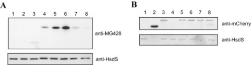 Analysis of protein expression by western blotting. (A) Immunoblot analysis of MG428 expression in the WT strain and several representative mutants. Lane 1, WT; lane 2, ΔMG_428; lane 3, Tn::MG_390-1; lane 4, Tn::MG_281-1; lane 5, Tn::recA-2; lane 6, Tn::MG_220-1; lane 7, Tn::MG_191-2 and lane 8, Tn::MG_192-1. (B) Immunoblot analysis of mCherry expression. Lane 1, WT; lane 2, Cat:Ch; lane 3, RecA:Ch; lane 4, MG_428:Ch; lane 5, ΔMG_428-RecA:Ch; lane 6, RecA:Ch-10; lane 7, RecA:Ch-22 and lane 8, RecA:Ch-35. Because the Cat-mCherry fusion is expressed at very high levels compared to the RecA-mCherry fusion, the amount of total protein loaded for the Cat:Ch mutant was reduced 20 times. HsdS protein was detected with a monoclonal antibody and used as a loading control.