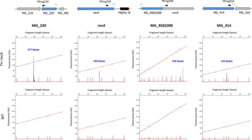 Identification of the TSSs of several MG428-regulated genes. Primer extension analysis of the MG_220, recA, MG_RS02200 and MG_414 genes in the WT strain and the Tn::recA-2 mutant. All electropherograms were generated with Peak Scanner v1.0 (Applied Biosystems) analysis software. Red peaks represent ROX size standards while blue peaks correspond to the primer extension products. Schematic representations of the genome regions analyzed are shown and the presence of the identified promoters indicated with blue arrows. The approximate location of the primers used in these analyses is also indicated by arrows.