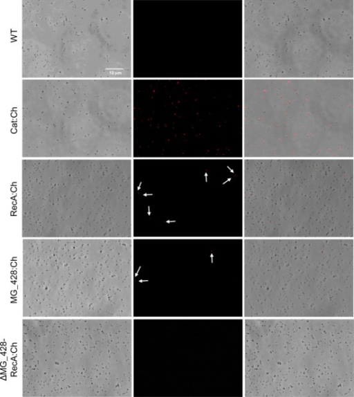 Single cell analysis of Cat-, RecA- and MG428-mCherry expression by fluorescence microscopy. Each row contains a series of three images corresponding to the phase contrast, the Texas Red channel and the resulting overlay, respectively. Arrows indicate the presence of fluorescent cells expressing either RecA- or MG428-mCherry fusions. All pictures are shown at the same magnification.