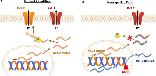 Nerve injury-induced Kv1.2 downregulation triggered by myeloid zinc finger protein 1 (MZF1)-mediated Kv1.2 antisense (AS) RNA expression in the injured dorsal root ganglion (DRG). (A) Under normal conditions, Kv1.2 mRNA that is transcribed from the genome is translated into Kv1.2 protein, resulting in normal expression of Kv1.2 channel at DRG neuronal membrane. (B) Under neuropathic pain conditions, peripheral nerve injury promotes the expression of the transcription factor MZF1 in DRG. The increased MZF1 binds to the promoter region of Kv1.2 AS RNA gene and triggers its expression. The latter specifically and selectively inhibits the expression of Kv1.2 mRNA via extensive overlap of their complementary regions, leading to a reduction in the membrane expression of Kv1.2 only, not other Kv subunits (e.g., Kv1.1), in the DRG neurons.