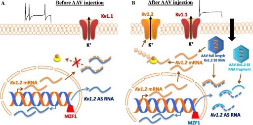 Adeno-associated virus (AAV) mediated transfer of Kv1.2 sense RNA for the reduction of DRG neuronal excitability. (A) Before AAV injection into the DRG of rats with peripheral nerve injury, a nerve injury-induced increase in DRG Kv1.2 AS RNA triggered by MZF1 knocks down expression of Kv1.2 mRNA and protein, resulting in an increase in DRG neuronal excitability under neuropathic pain conditions. (B) After AAV injection into the DRG of rats with peripheral nerve injury, AAV mediated transfer of full length Kv1.2 sense (SE) RNA rescues nerve injury-induced DRG Kv1.2 downregulation at the DRG neuronal membrane through not only its direct translation into Kv1.2 protein but also its indirect blockage of nerve injury-induced increase in Kv1.2 AS RNA expression via extensive overlap of their complementary regions. AAV mediated transfer of Kv1.2 SE RNA fragment (-311 to +40) also rescues nerve injury-induced DRG Kv1.2 downregulation through its blockage of nerve injury-induced increase in Kv1.2 AS RNA expression via partial overlap of their complementary regions, although this RNA fragment cannot be translated into Kv1.2 protein. Maintaining normal Kv1.2 expression at DRG neuronal membrane reduces nerve injury-induced neuronal hyperexcitability at DRG neurons and consequently decreases spinal central sensitization, resulting in neuropathic relief.