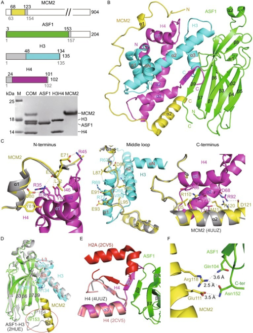 Structure of the MCM2-ASF1-H3-H4 complex. (A) Schematic diagram showing the truncated fragments of the four proteins. MCM2, ASF1, H3 and H4 are shown in yellow, green, cyan and magenta respectively (color coded the same in all figures). Disordered regions in the structure are shown in gray. An image of the coomassie-stained SDS-PAGE gel of the purified complex showing apparent stoichiometry of the four proteins. MCM2 appears to have an anomalous SDS-PAGE migration profile, as a Mass spectrometric measurement indicates a molecular weight 10,774 Da (data not shown). (B) A ribbon diagram showing the overall structure of the quaternary complex. (C) Interactions between MCM2 and H3-H4 heterodimer. The structure of MCM2 from the ternary MCM2-H3-H4 structure (PDB code: 4UUZ, shown in gray) is superimposed for comparison. Three panels indicate N-terminal, middle and C-terminal binding regions of MCM2. Residues involved in intermolecular interactions are shown in a stick model (carbon, yellow, magenta and cyan; nitrogen, blue; oxygen, red). Dashed lines indicate intermolecular hydrogen bonds. (D) Interactions between ASF1 and histone H3. Superposition of ASF1 and H3 from our quaternary structure and that from the ternary ASF1-H3-H4 structure (PDB code: 2HUE, shown in gray). C-terminal ends of ASF1 in the two structures and α2 MCM2 are highlighted inside the red circle. (E) Interactions between ASF1 and histone H4. The βC strand of H4 in the MCM2-H3-H4 ternary structure and in a human nucleosome structure (shown in gray and magenta, respectively) are aligned with that in the quaternary structure. Histone H2A in the nucleosome structure are shown in red. (F) Direct interactions between MCM2 and ASF1