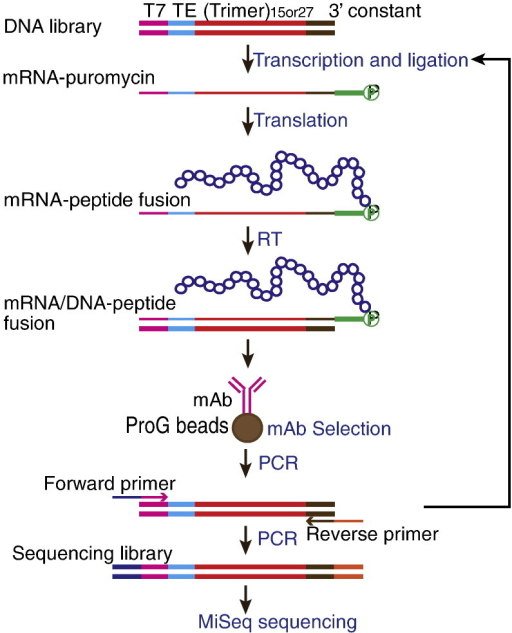 "mRNA display selection combined with HTS. The DNA library used contains a T7 promoter (T7), a CMV Translation enhancer (TE), a 15 or 27-mer random region ((Trimer)15or27) and a constant region (3′ constant) encoding the peptide QLRNSCA. ""Trimer"" represents the mixture of 20 trimer (codon) phosphoramidites (Glen Research), each encoding one amino acid. In vitro transcription, ligation to a puromycin linker (green), in vitro translation and reverse transcription (RT) were performed as described in the Materials and methods section. mRNA/DNA–peptide fusions were applied to protein G magnetic beads (ProG beads) complexed with monoclonal antibodies (mAb) for selection. The regenerated DNA library was converted to an Illumina sequencing library by PCR amplification using forward and reverse primers containing Illumina adapters and subjected to MiSeq sequencing."
