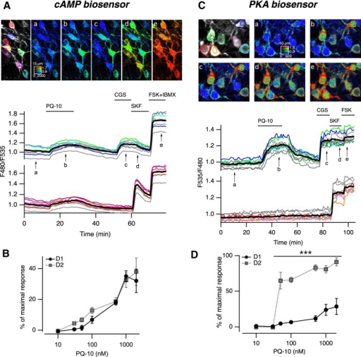 PDE10A inhibition increases cAMP levels in both in D1 and D2 MSNs, and PKA-dependent phosphorylation only in D2 MSNs. A, MSNs in a neostriatal mouse brain slice expressing the cAMP biosensor Epac-SH150 were imaged with two-photon microscopy during the application of PQ-10 (100 nm). Images (vertical projection of the image stack) show the raw fluorescence at 535 nm (left, in grayscale) and the ratio (in pseudocolor) indicating intracellular cAMP concentrations, at the times indicated by the arrows on the graph below. The calibration square in A indicates the spatial scale (the size of the square is indicated in micrometers), and shows the ranges of intensity (horizontally) and ratio (vertically). Each trace on the graph indicates the F480/F535 emission ratio measured in regions indicated by the color contour drawn on the raw image. Traces in gray correspond to regions that are not visible on these images. Traces are plotted in two groups according to their response to either CGS 21680, an adenosine A2A receptor agonist (CGS, 1 µm), or SKF-38393, a D1-like receptor agonist (SKF, 1 µm). The thick black line represents the average of all the traces in a group. FSK (13 µm) and IBMX (200 µm) were applied at the end of the recording to determine the maximal response. B, The same experiment was repeated for every PQ-10 concentration tested. No significant difference was found between D1 and D2 MSNs (two-way ANOVA: dose effect, F(6,54) = 40.91, p < 10−4; D1/D2 effect, F(1,54) = 2.56, p = 0.115; dose × D1/D2 interaction, F(6,54) = 0.625, p = 0.709). Error bars indicate the SEM. C, Same as A, except that the AKAR3 biosensor was used to monitor PKA-dependent phosphorylation, and the ratio was calculated as F535/F480. D, Same as B for AKAR3 measurements. Data were analyzed with two-way ANOVA: dose effect, F(6,38) = 28.31, p < 10−4; D1/D2 effect, F(1,38) = 143.73, p < 10−4; dose × D1/D2 interaction, F(6,38) = 9.23, p < 10−4 Bonferroni's post hoc test, ***p < 0.001 .