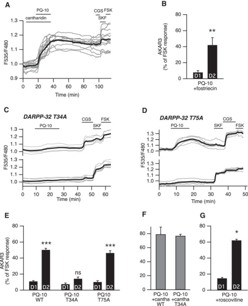 DARPP-32-mediated phosphatase inhibition favors PKA signaling in D2 MSNs. A, PP-1 and PP-2A were inhibited with cantharidin. Cantharidin (30 µm) alone did not change the basal ratio but strongly increased the AKAR3 response to PQ-10 (100 nm) in all MSNs. These responses were not reversible, making the final identification of D1 and D2 MSNs impossible (gray bars in F, which represent the responses of all MSNs). B, D2 MSNs responded selectively to PQ-10 (100 nm) even when the PP-2A inhibitor fostriecin (200 nm) was applied (n = 4, paired Student's t test; **p < 0.01). C–E, Mutation of the Thr34 to Ala in DARPP-32 (DARPP-32 T34A) strongly reduced the effect of PQ-10 (100 nm) in D2 MSNs, whereas the selective effect of PQ-10 on D2 MSNs remained in brain slices from animals bearing the Thr75 to Ala mutation in DARPP-32 (DARPP-32 T75A). C, D, Representative experiments performed with DARPP-32 T34A (C) and DARPP-32 T75A (D) knock-in mice. Each trace on the graph indicates the ratio measurement on MSNs expressing AKAR3 and is identified as D1 or D2 according to their response to either SKF-38393 (SKF, 1 µm) or CGS 21680 (CGS, 1 µm), respectively. The thick black line represents the average of all the traces in each group. E, The data expressed as the mean ± SEM were analyzed by two-way ANOVA: genotype effect, F(2,72) = 71.12, p < 10−4; D1/D2 effect, F(1,72) = 333.07, p < 10−4; genotype × D1/D2 interaction, F(2, 72) = 49.53, p < 10−4. Bonferroni's post hoc test: ***p < 0.001. F, In wild-type (WT) mice and DARPP-32 T34A mutants, and in the presence of cantharidin (30 µm), all MSNs responded to PQ-10 (100 nm) with an increase in AKAR3 ratio such that D1 and D2 MSNs could not be distinguished (n = 5 for both). No significant difference was obtained between wild-type and DARPP-32 T34A mutant (unpaired Student's t test, p > 0.05). G, D2 MSNs responded selectively to PQ-10 (100 nm) even when the Cdk5 inhibitor roscovitine (10 µm) was applied (n = 4, paired Student's t test; *p < 0.05).