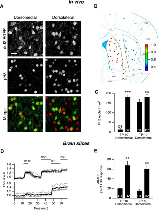 In vivo effects of PDE10A inhibition by TP-10. A, In the medial part of the dorsal striatum of drd2-EGFP adult mice treated with TP-10 (3 mg/kg), PH3 was selectively observed in D2 MSNs. In the lateral part of the dorsal striatum, PH3 immunoreactivity was observed in both EGFP-positive and EGFP-negative MSNs. EGFP and PH3 are shown in grayscale, and are overlaid with EGFP in green and PH3 in red (Merge). Scale bar, 20 µm. B, Each color spot represents a position where the relative distribution of D2/(D1 + D2) PH3-positive MSNs is indicated in pseudocolor, over a schematic of coronal mouse brain (Franklin and Paxinos, 2007). C, PH3-positive nuclei were quantified in medial and lateral parts of the dorsal striatum as defined by the dotted line in B. The effect of localization was significant (Kruskal–Wallis test followed by a Mann–Whitney test with a Dunn–Sidak adjustment test for pairwise multiple comparisons tests, p < 10−4), with PH3-positive nuclei being preferentially D2 MSNs in the medial striatum. ***indicates a difference between EGFP-positive (D2) and EGFP-negative (D1) MSNs with p < 10−4. D, The preferential AKAR3 response is also observed in the lateral striatum in brain slices from neonate mice. MSNs were transduced for the expression of the AKAR3 biosensor and imaged with wide-field microscope in the lateral striatum. Each trace on the graph indicates the ratio measurement on MSNs expressing AKAR3 and was identified as D1 or D2 according to their response to either SKF-38393 (SKF, 1 µm) or CGS 21680 (CGS, 1 µm), respectively. The thick black line represents the average of all the traces in each group. TP-10 (100 nm) increased AKAR3 ratio selectively in D2 MSNs. E, The same experiment was repeated: there was no effect of localization, and TP-10 increased the AKAR3 ratio selectively in D2 MSNs in both the dorsolateral and dorsomedial striatum (two-way ANOVA: localization effect, F(1,12) = 0.374, p = 0.374; D1/D2 effect, F(1,12) = 44.01, p < 10−4; localization × D1/D2 interaction, F(1,12) = 0.042, p = 0.804. Bonferroni's post hoc test: **p < 0.01.). C, E, Error bars indicate the SEM.