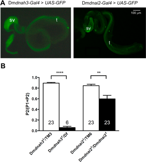 Dmdnah3 and Dmdnai2 are expressed in sperm and impair sperm competition.(A) Regulatory sequences of Dmdnah3 (left) and Dmdnai2 (right) fused to Gal4 can both drive expression of fluorescent markers in sperm. Expression is seen both in developing sperm tails in the testis (t) as well as in mature sperm in the seminal vesicles (sv). (B) Mutations in Dmdnah3 and Dmdnai2 impair sperm competition. Dmdnah31and Dmdnai21 mutant males (black bars) and their heterozygous controls (white bars) were tested for their ability to displace sperm in previously mated females. Sperm displacement was measured as the proportion of offspring from the second male (P2/P1 + P2). Bars represent means, error bars represent SEM. Number of males measured for each genotype is shown in or above the bar. **p < 0.01; ****p < 0.0001 (Kruskal-Wallis test followed by two-tailed Mann-Whitney U tests). Data were included only if at least one offspring from the second male was recovered. This conservative approach was to eliminate any possible effect of the mutations on the ability of males to achieve copulation. The numbers of males that were thus not taken into consideration were 0 for Dmdnah31/TM3 but 23 for Dmdnah31/Df, and 1 for Dmdnai21/TM6 male but 4 for Dmdnai21/Dmdnai21.