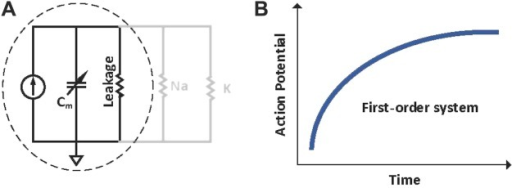 First-order response of a reduced form of Hodgkin–Huxley equation (as described in Equation 2). This shows the effect of neglecting the ion activation and inactivation channels. (A) Reduced circuit diagram of the single neuron chamber. (B) First order response with only leakage component into consideration.