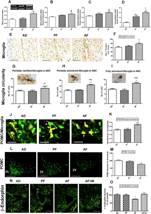Effect of fetal alcohol exposure on microglia and proopiomelanocortin neuron interaction in the hypothalamus. Showing the changes in the protein level of inflammatory cytokines TNF-α (a), mRNA level of cytokine MCP1 (b), cytokine receptors CSFR1 (c), and TLR4 (d) in the mediobasal hypothalamus (MBH) of alcohol-fed (AF), pair-fed (PF) and ad lib-fed rats on postnatal day (PND) 6 as determined through Western blot and q-RTPCR, respectively. Representative photographs of IBA-1-positive cells (e) and histograms representing the mean ± SEM number of IBA-1-positive cells (f) in the MBH of AF, PF, and AD rats on PND 6. Scale bars shown in three photographs of panel e are 200 μm/each. Characterization of IBA-1-stained microglial cells in the mediobasal hypothalamus based on circularity (partially ramified (g); partially amoeboid (h); fully amoeboid (i)) in AD, PF, and AF of rat pups on PND 6. Scale bars in these figures are 20 μm/each. Representative 3D rendering of IBA-1 microglia and GFP-POMC neurons interacting (j).Scale bars are 20 μm/each. Quantification of soma/process interaction of microglia with POMC neurons (k). Representative images of POMC-stained neurons in the arcuate nucleus (l) and histograms representing the mean ± SEM number of POMC-positive cells in the arcuate nucleus of AF, PF, and AD rats on PND 6 (m). Scale bars are 200 μm/each. Representative images of ß-endorphin-stained neurons in the arcuate nucleus (n) and histograms representing the mean ± SEM number of ß-endorphin-positive cells in the arcuate nucleus of AD, PF, and AF and AF + M (minocycline-treated and alcohol-fed) rats on PND 6 (o). Scale bars are 200 μm/each. Data are represented as mean ± SEM (n = 5–7). The differences between AD, PF, and AF were compared by one-way analysis of variance (ANOVA) and the Newman-Keuls posttest. *p < 0.05, **p < 0.01, ***p < 0.001, AF vs PF and AD, ap < 0.05, AF vs AD, #p < 0.05, AF vs PF, ##p < 0.01, AF vs PF, ###p < 0.001, AF vs PF