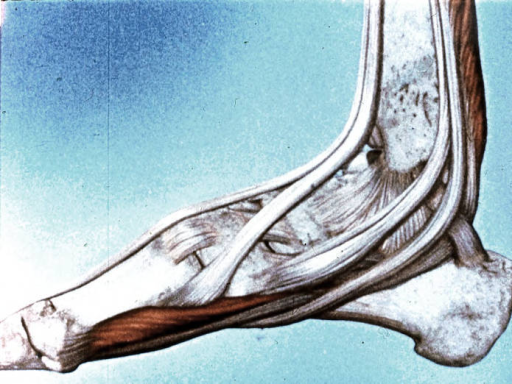 long dorsiflexor tendon; plantar flexor tendon