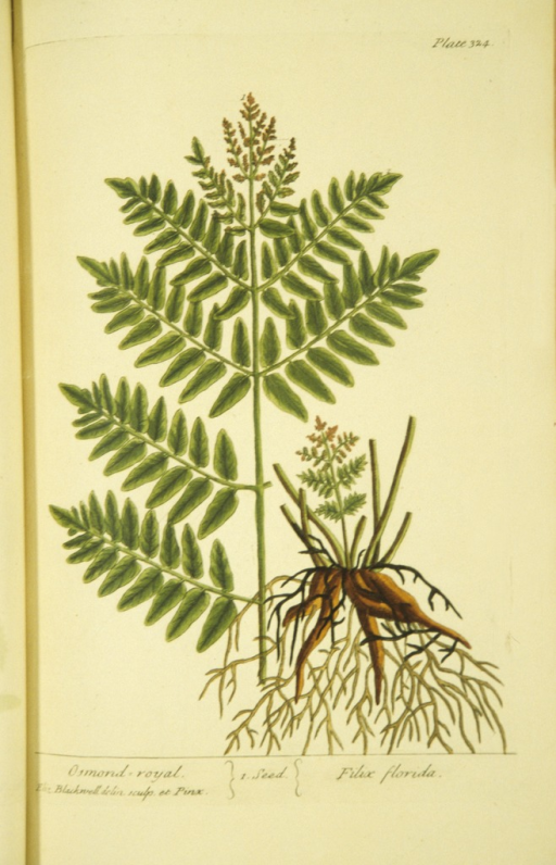 <p>Illustration of the leaves and roots of osmond royal, or water fern.</p>