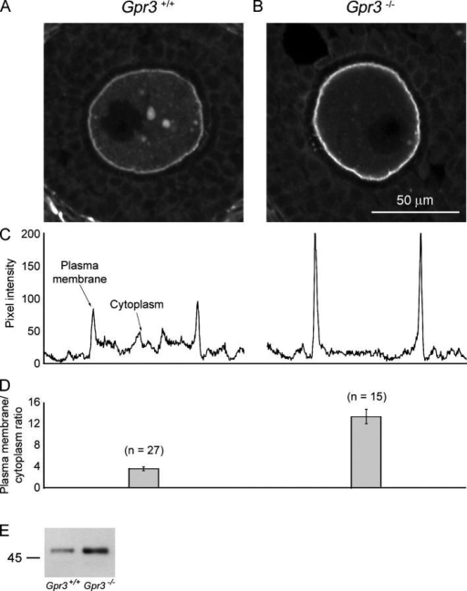 Immunofluorescence localization and immunoblotting of Gαs in oocytes in Gpr3+/+ and Gpr3−/− ovaries. (A and B) Gαs in Gpr3+/+ (A) and Gpr3−/− (B) oocytes in a preantral follicle. The confocal microscope settings and bars were the same for A and B; the dark region in each oocyte is the nucleus. (C) Pixel intensity on a scale of 0–255 along a line drawn through each oocyte image, choosing a line that avoided the nucleus. (D) Plasma membrane-to-cytoplasm Gαs fluorescence ratios for Gpr3+/+ and Gpr3−/− oocytes, which were determined as described in Fig. S1 (available at http://www.jcb.org/cgi/content/full/jcb.200506194/DC1). Mean ± SEM (error bars; n = number of oocytes). The fluorescence ratios for Gpr3+/+ oocytes (3.6 ± 0.3) and Gpr3−/− oocytes (13.4 ± 1.3) were significantly different (t test, P = 0.0001). Data are from two Gpr3+/+ and two Gpr3−/− mice; ovaries from mice of the two genotypes were processed in parallel. (E) Immunoblot comparing the amount of Gαs protein in Gpr3+/+ and Gpr3−/− oocytes that were isolated from preantral follicles. 15 oocytes per lane. The 52-kD splice variant of Gαs is predominant in mouse oocytes, although a small amount of the 45-kD form is present (Fig. 4 B; Mehlmann et al., 2002).