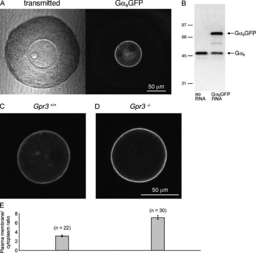 GαsGFP fluorescence in Gpr3+/+ and Gpr3−/− preantral follicle-enclosed oocytes. (A) Scanning transmission and fluorescence images of a Gpr3+/+ preantral follicle in which the oocyte had been injected with GαsGFP RNA 20 h before. In the transmitted light image of the oocyte, the bright sphere on the left is an oil drop that was introduced by microinjection; the nucleus and nucleolus are visible on the top right. In the fluorescence image, the oil drop and nucleus appear as dark areas where GαsGFP is excluded. (B) Immunoblot comparing the amount of GαsGFP and endogenous Gαs in GαsGFP RNA-injected and noninjected oocytes from a Gpr3+/+ mouse. Oocytes were injected with the RNA while inside their preantral follicles; after culturing the follicles overnight, the oocytes were isolated, and gel samples were prepared (14 oocytes per lane). The blot was probed with an antibody against Gαs (RM). The ratio of GαsGFP protein in the injected oocytes to Gαs in uninjected control oocytes was 1.1–1.5 (range for two experiments). The expression of GαsGFP caused some reduction of endogenous Gαs protein. (C and D) GαsGFP fluorescence in Gpr3+/+ (C) and Gpr3−/− (D) oocytes. (C) Fluorescence is present in the plasma membrane, in spots in the cytoplasm, and diffusely within the cytoplasm. (D) Fluorescence is present primarily in the plasma membrane. The confocal microscope settings and bars were the same for C and D. (E) Plasma membrane-to-cytoplasm fluorescence ratios for Gpr3+/+ and Gpr3−/− oocytes. Mean ± SEM (error bars; n = number of oocytes). Ratios for Gpr3+/+ oocytes (3.1 ± 0.2) and Gpr3−/− oocytes (7.1 ± 0.4) were significantly different (t test, P < 0.0001). Data are from three Gpr3+/+ and three Gpr3−/− mice.