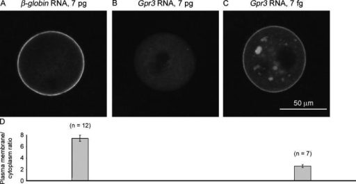 GαsGFP fluorescence in Gpr3−/− preantral follicle-enclosed oocytes that had been coinjected with GαsGFP RNA and Gpr3 RNA. Oocytes were injected with 15 pg GαsGFP RNA and the indicated amounts of Gpr3 or a control RNA encoding β-globin, and the follicles were cultured overnight before imaging. (A–C) 7 pg β-globin (A), Gpr3 (B), and 7 fg Gpr3 (C) RNA. The confocal microscope settings and bars were the same for all images. (D) Plasma membrane-to-cytoplasm GαsGFP fluorescence ratios for Gpr3−/− oocytes that were injected with the indicated RNAs. Mean ± SEM (error bars; n = number of oocytes). Data are from three mice. For the images of oocytes that had been injected with 7 pg Gpr3 RNA (n = 10), no plasma membrane fluorescence could be identified, so no ratio was calculated. Ratios for oocytes that were injected with 7 pg β-globin RNA (7.4 ± 0.5) or 7 fg Gpr3 RNA (2.6 ± 0.2) were significantly different (t test, P < 0.0001). The ratio for Gpr3−/− oocytes + 7 fg Gpr3 RNA was not different from that for Gpr3+/+ oocytes (Fig. 4 E; P = 0.14), and the ratio for Gpr3−/− oocytes + 7 pg β-globin RNA was not different from that for Gpr3−/− oocytes (Fig. 4 E; P = 0.69).