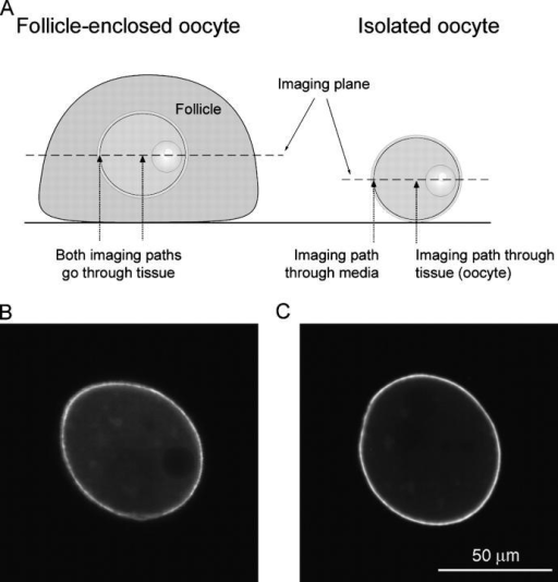 Determination of the optical correction factor for comparing the plasma membrane-to-cytoplasm fluorescence ratios in preantral follicle-enclosed and isolated oocytes. (A) Diagram of the optical difference in comparing follicle-enclosed with isolated oocytes. (B) YFP-Mem and YFP fluorescence from an oocyte in a preantral follicle. (C) YFP-Mem and YFP fluorescence from the same oocyte as shown in B after isolation from its follicle. The detector gain for B was 3.2 times that for C, reflecting the fact that the fluorescence intensity collected from an oocyte inside a preantral follicle is less than that collected from an isolated oocyte. Other confocal microscope settings and bars were the same for B and C. The plasma membrane-to-cytoplasm fluorescence ratio that was measured for B was 3.5 and that for C was 8.2. Based on measurements of 14 such oocytes, removal from the follicle resulted in an increase in the apparent plasma membrane-to-cytoplasm fluorescence ratio of 2.2 ± 0.2 (mean ± SEM); data from two mice.