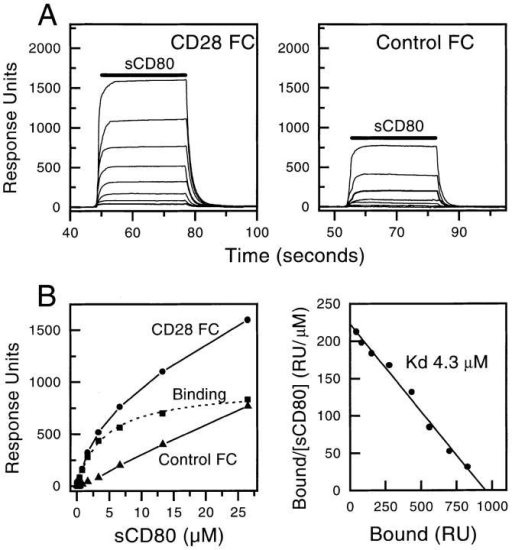 Measuring the affinity of sCD80 binding to CD28 Ig by  equilibrium binding. (A) A range of sCD80 concentrations (26.5 μM and  eight twofold dilutions thereof) were injected sequentially (solid bar) for  30 s at 10 μl/min through a FC with either CD28 Ig (immobilized at a  level of 7800 RUs) or an irrelevant protein (Control) immobilized. sCD80  (0.82 μM) injected at the beginning and end of the experiment bound to  a very similar level (160 and 157 RUs), indicating that the immobilized  CD28 Ig was stable. (B) The equilibrium responses in the CD28 Ig (•)  and Control (▴) FCs at each sCD80 concentration and the differences  between these responses (representing actual binding, ▪) are plotted. The  dotted line represents a nonlinear fit of the Langmuir binding isotherm to  the binding data and yields a Kd of 4.1 μM and a binding maximum of  939 RUs. A Scatchard plot of the same data is shown on the right. A linear  regression fit yields a Kd of 4.3 μM and a binding maximum of 952 RUs.